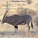 Oryx, Beisa race