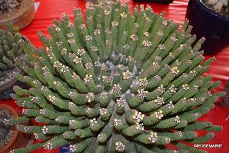 Photo: Euphorbia esculenta