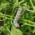 Hieroglyphic moth caterpillar