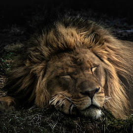 THE LION SLEEPS TONIGHT by Dana Johnson - Animals Lions, Tigers & Big Cats ( cat, night, animals, lion, sleeping )