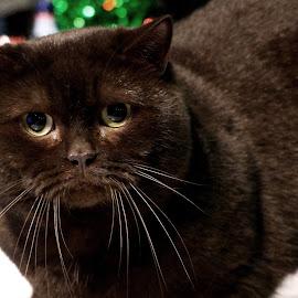 Black1 by Sámuel Zalányi - Animals - Cats Portraits ( eye, exhibition, cat, black, yellow, portrait,  )