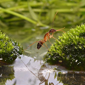Ants Crossing by Agung Wicaksono - Animals Insects & Spiders ( water, up close, crossing, macro, animals, spiders, ants, insects, river )