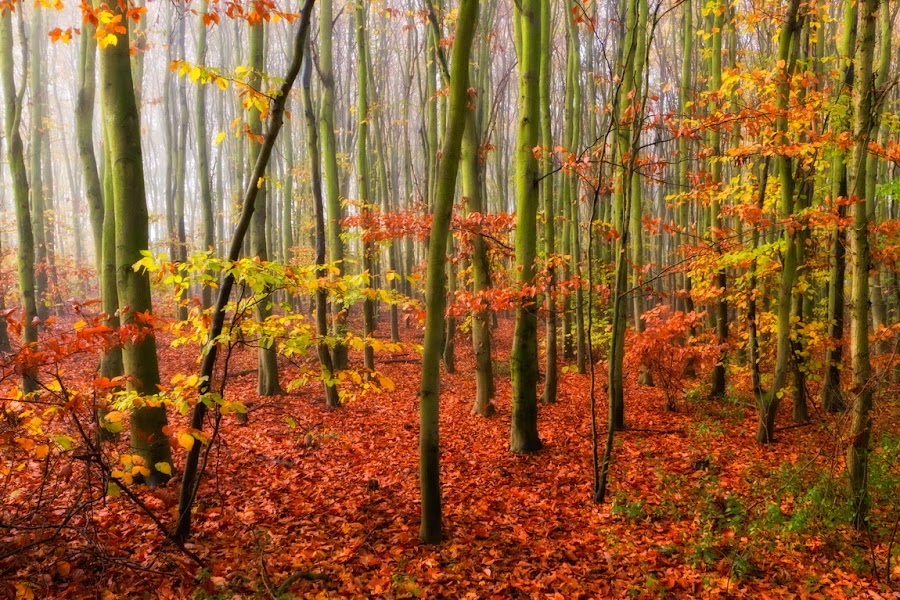Autumn Glow by Deen Guldemond - Nature Up Close Trees & Bushes ( fall leaves on ground, fall leaves, red, autumn, green, trees, glow, colours )
