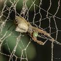 Cribellate Orb Weaver / Tecelã-Orbicular-Cribelada