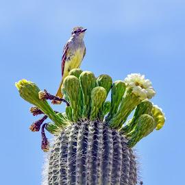 Brown Crested Flycatcher by Dawn Hoehn Hagler - Animals Birds ( flycather, tucson, arizona, saguaro, bird, desert museum, brown crested flycatcher )