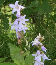 Photo: Nettle-leaved Bellflower, Campanula trachelium West Yorkshire, bank of canal