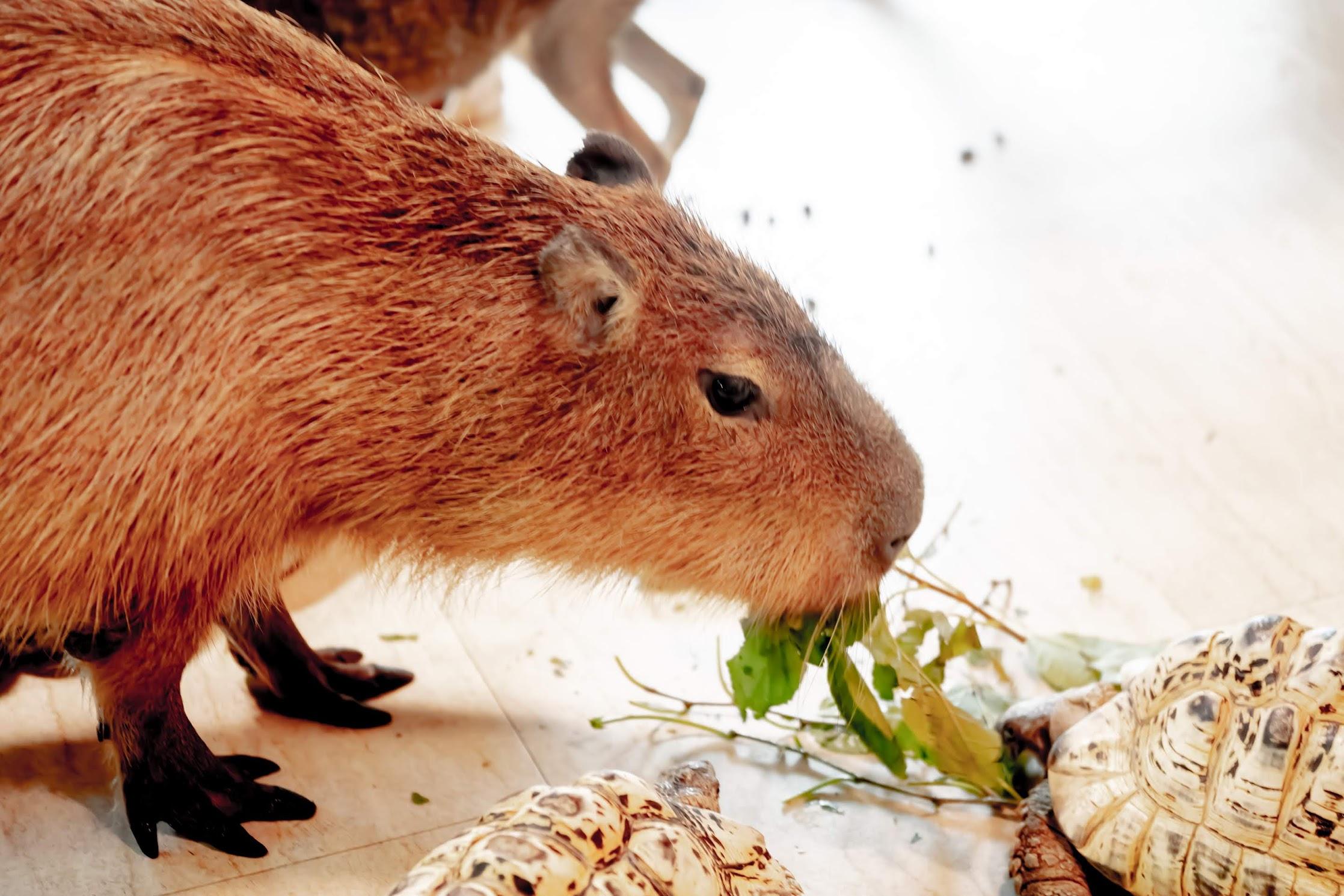 Tenpozan Anipa Capybara2
