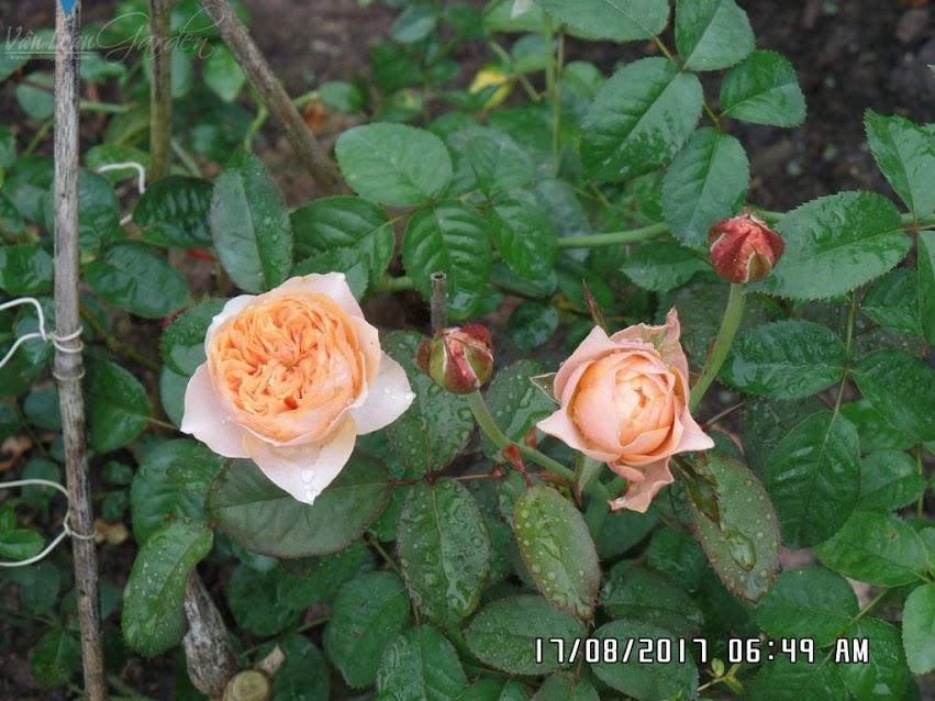 Hồng ngoại Sweet Vuvuzela rose đã có form hoa như mong đợi. Đường kính hoa chỉ từ 4-6cm. Form hoa hình trứng