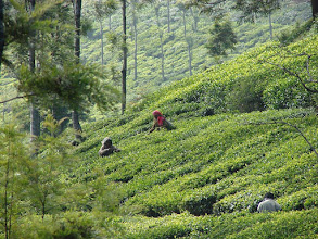 Photo: 7B220941 na plantacji herbaty
