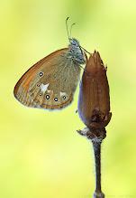 Photo: Coenonympha glycerion, Fadet de la mélique ou Iphis/Semi-Procris, Chestnut Heath http://lepidoptera-butterflies.blogspot.fr/
