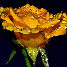 by Vino P - Flowers Single Flower (  )