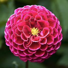 Dahlia 8714~ by Raphael RaCcoon - Flowers Single Flower