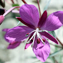River Beauty Willow Herb
