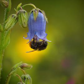Alpine meadow by Michaela Firešová - Flowers Flowers in the Wild ( nature, detail, bumblebee, meadow, bellflower )
