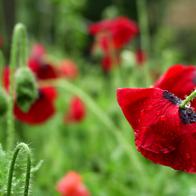 Poppies in the garden by Oleksii Liebiediev - Flowers Flower Buds ( poppy flower, poppy, poppies, garden, flower,  )