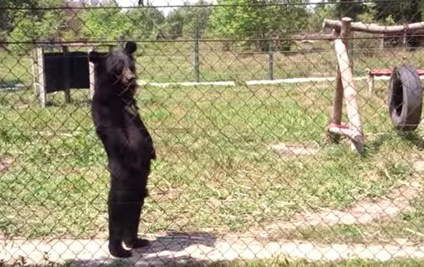 หมีควาย