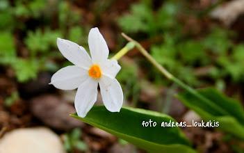 Photo: ΝΑΡΚΙΣΣΟΣ  Ο ΟΨΙΜΟΣ  narcissus serotinus Ο φθινοπωρινός νάρκισσος (Narcissus serotimus - Νάρκισσος ο όψιμος) ανθίζει από τον Σεπτέμβριο έως και τα τέλη Νοεμβρίου. Ευδοκιμεί στην νότια Ελλάδα, δηλαδή σε Στερεά, Πελοπόννησο, Αιγαίο, Κρήτη.  Είναι φυτό βολβόρριζο. Ο βλαστός του είναι λεπτός, κυλινδρικός, με ύψος 20-30 εκατοστά. Κάθε βλαστός έχει συνήθως ένα άνθος. Τα άνθη του είναι μικρά και η διάμετρος τους δεν ξεπερνά τα 3 εκατοστά. Τα φύλλα του συνήθως παρουσιάζονται μετά την άνθηση.  Ευδοκιμεί σε πετρώδεις περιοχές, γυμνές εκτάσεις και αραιούς θαμνότοπους