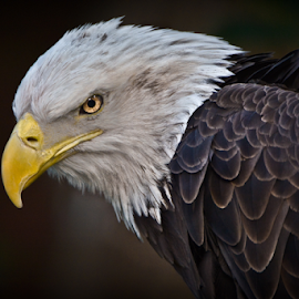 Attitude by Soumya Ranjan Kar - Animals Birds ( american bald eagle, eagle attitude, raptor, birds of prey, bald eagle )