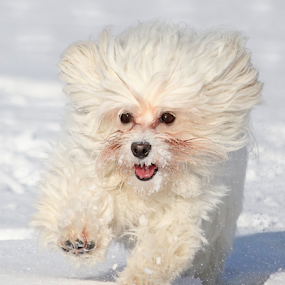 Hertta by Mia Ikonen - Animals - Dogs Running ( white, finland, fun, cute, running, canine, playing, havanese, winter, happy, pet, snow, action, dog, mia ikonen,  )