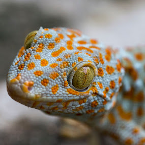 Gecko from Vietnam by Andre Minoretti - Animals Reptiles ( reptiles, macro, nature, gecko, asia, vietnam )