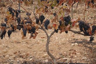 Photo: raisins tardifs
