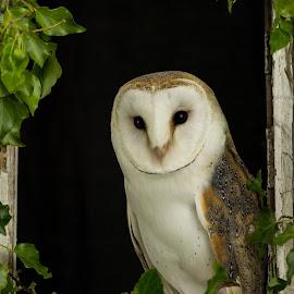 Framed by Barry Smith - Animals Birds ( nature, bird of prey, ornithology, owls, birds )