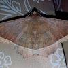 Hulodes Moth