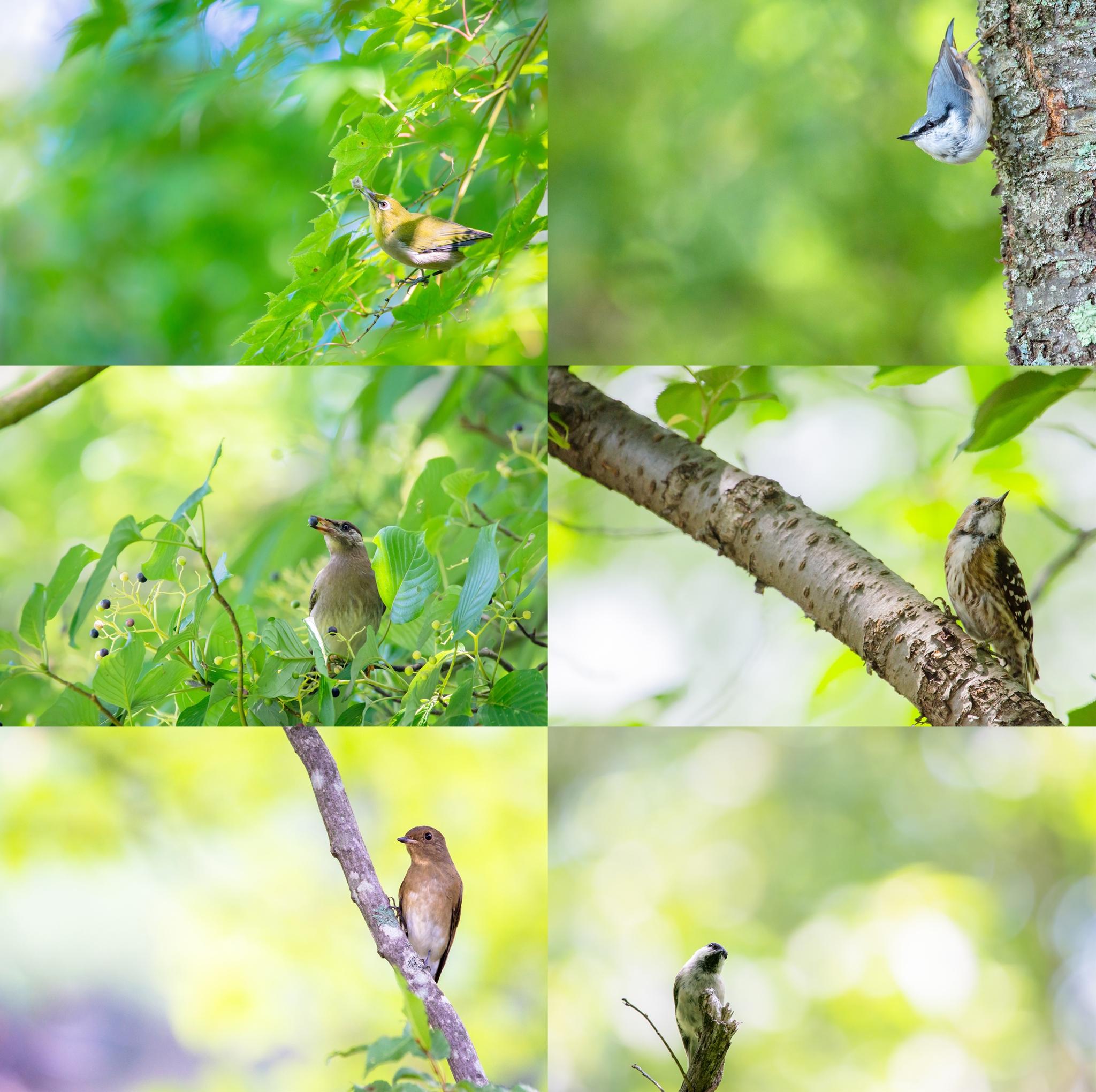 Photo: 「夏」 / Summer  写真展『まなざし』出展作品より 今回ご紹介させていただくのは 8つの小さなテーマの内の一つ 『夏』です。  一年で最も生命力に溢れる季節、 生い茂る緑の中で 小鳥たちが活き活きと過す 夏を感じるシーンから この6枚を選びました。  写真展は2日目、 今回の写真展でも各作品に 限定部数を設定してサインを入れた上で アートフォトとしての販売を行っています。 小さなテーマが6枚ずつに分かれていることもあって、 セットで手にしていただいた場合には 少し特別な気分を味わってもらえるようにと 一工夫加えた仕組みも御用意しています。  もし御興味を持っていただけましたら、 購入していただくことも可能ですので、 お気に入りのこを お手元において愛でていただけたら とても嬉しく思います。  本日もOpenの11時より終日在廊しています、 お気軽に足を運んでいただけたら幸いです。  #birdphotography #birds #cooljapan #kawaii #nikon #sigma  ・大塩貴文 写真展『まなざし』 2015年11月20日[金]-29日[日] < http://islandgallery.jp/12134 >  ・Live Talk イベントページ < https://goo.gl/js4sNM >