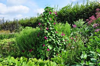 Photo: Ipomea purpurea RHS gardens Wisley