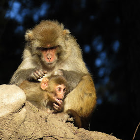 Mother's love by Akbar Ali Asif - Animals Other Mammals ( mammals, pakistan, mothers, rhesus monkeys, nature, monkeys, mother's love, ayubia, monkey )