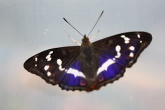 Photo: Apatura iris    Lepidoptera Nymphalidae