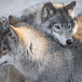 Timber wolfes  by Roland Bast - Animals Other ( timber, quebec, wolf, wildlife, park omega )