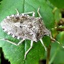 Mottled shieldbug. Chinche de escudo