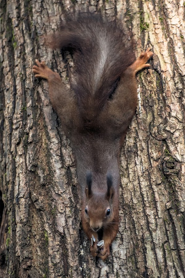 Hanging by Massimo Mazzasogni - Animals Other Mammals ( hunger, tree, tail, mammal, squirrel )