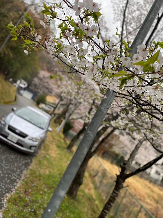 インプレッサ スポーツ GP6の桜と愛車,愛車紹介,花見に関するカスタム&メンテナンスの投稿画像3枚目