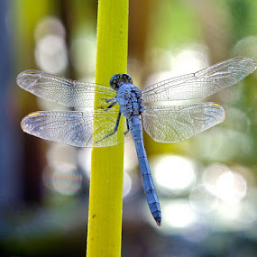 Dragon Fly by Nick Soefje - Animals Insects & Spiders ( hi-tech-photography.com, nick soefje )