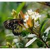 Delias pasithoe 報喜斑粉蝶