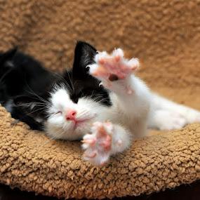 Streeeeeetch!! by Josh Norem - Animals - Cats Portraits ( cats, kitten, cat, kittens, kitties, felines, kitty )