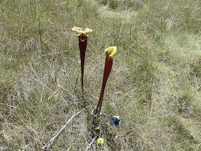 Photo: Sarracenia flava ssp. rubricorpora near Sumatra (Florida Panhandle).
