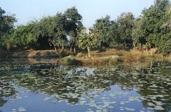 Photo: A lily pond at Tiger Trails at Bandhavgarh