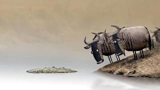 Wildebeest (auto-paused)