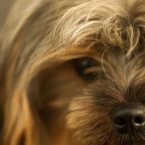 Ben's Nose by Nelwan Handoko Hasan - Animals - Dogs Portraits ( pet, puppy, dog, nose )