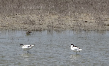 Photo: Avocets with Stint in background