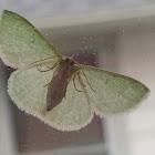 Barred Emerald Moth