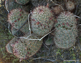 Photo: Hedgehog cactus just about to bloom; Anza Borrego Desert State Park