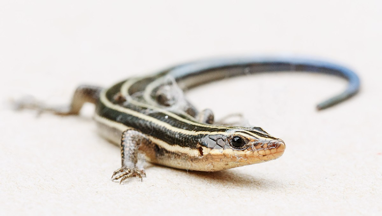 The blue-tailed skink is thought to be extinct in Australia.
