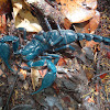 Giant Blue Scorpion