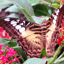 Clipper Butterfly (brown)