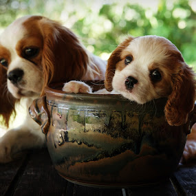 Cavalier Puppies by Tanya Rossi - Animals - Dogs Puppies ( pups, puppies, dogs, charles, king, spaniels, cavalier puppy )