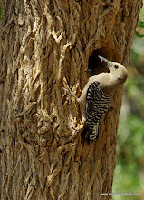 Photo: Adult female Gila Woodpecker delivering food to nestlings along the Santa Cruz River outside Nogales, Arizona